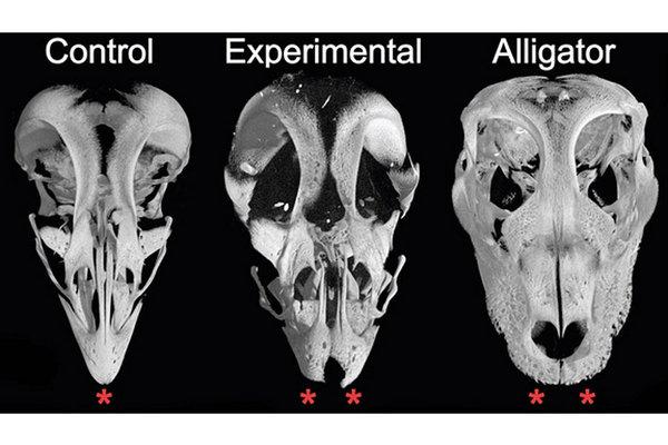 0513-dino-chicken-skull.jpg