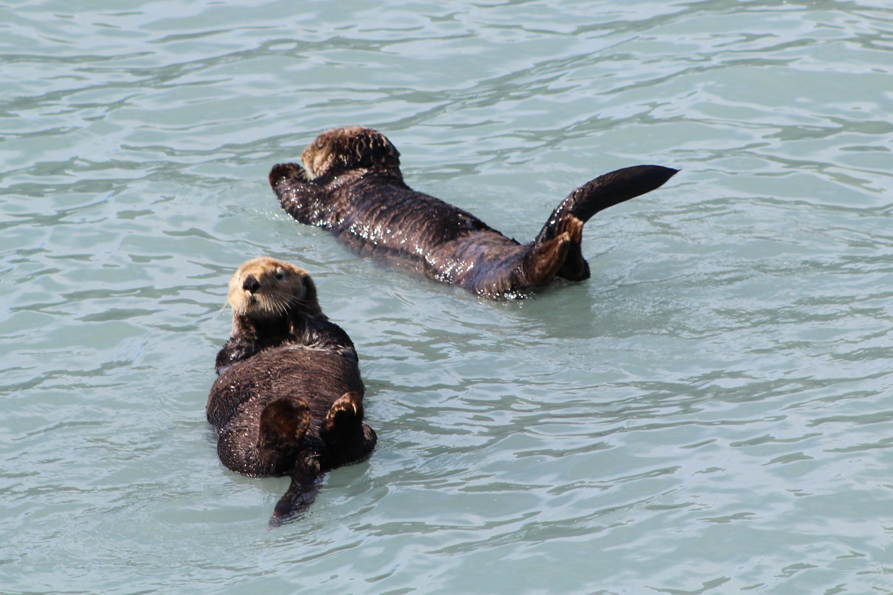 Sea Otters 1.jpg