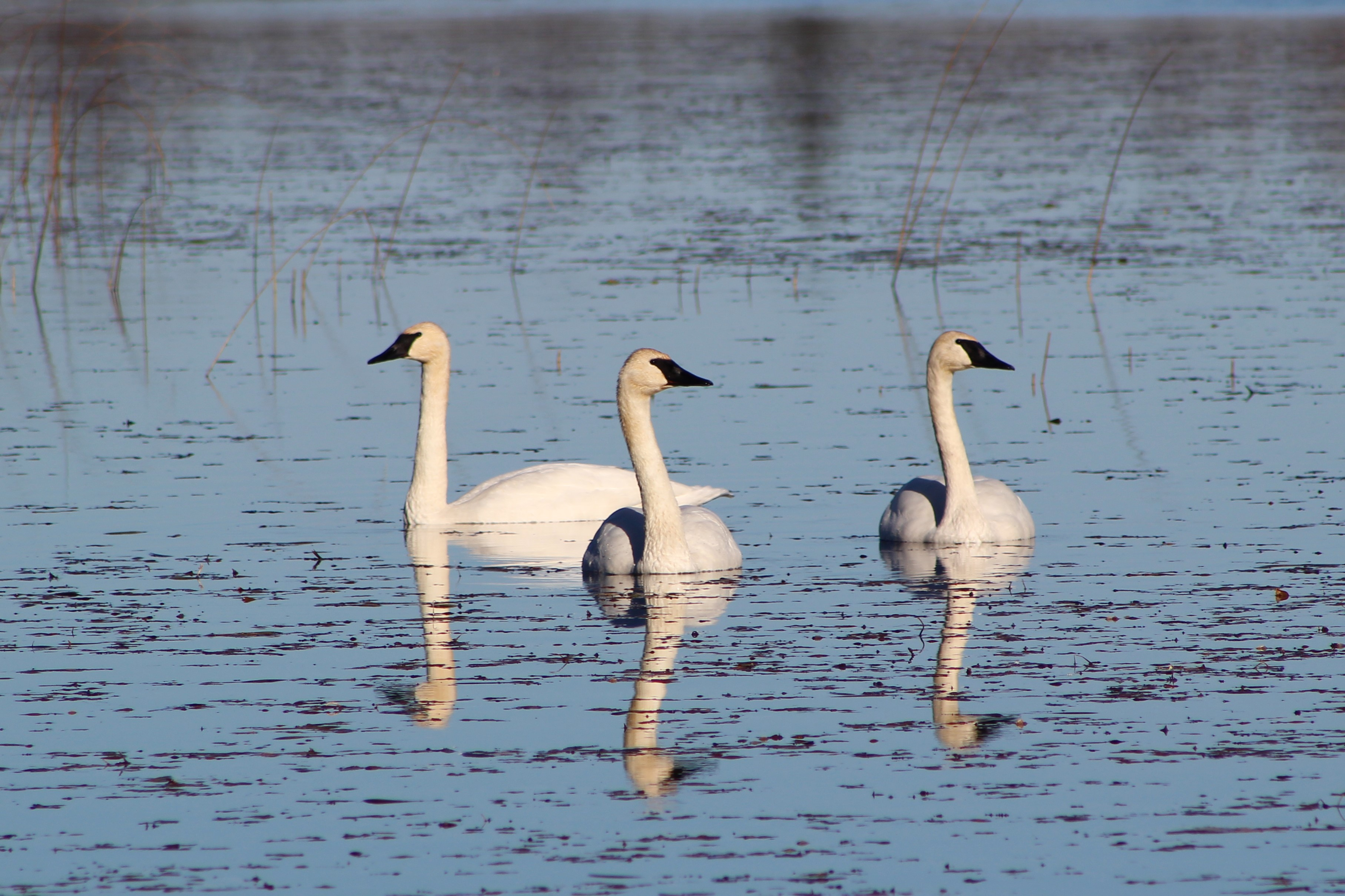Swans from Tamarac NWR.jpg